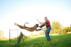 Belgian shepherd attack Stock Images