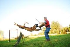 Belgian shepherd attack stock images