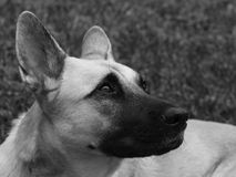 Belgian Shepherd in Black and White Stock Photos