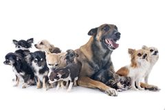 Malinois and chihuahuas. Belgian shepherd and chihuahuas in front of white background Stock Photography