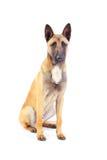 Belgian shepherd dog. Isolated on white background royalty free stock photography
