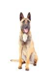 Belgian shepherd dog. Isolated on white background Royalty Free Stock Photo