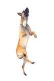 Belgian shepherd dog. Jumping against white background royalty free stock photo