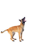 Belgian shepherd dog Royalty Free Stock Photos