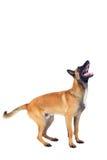 Belgian shepherd dog. Isolated on white background Royalty Free Stock Photos