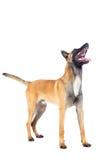 Belgian shepherd dog. Isolated on white background Stock Photography