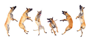 Belgian shepherd dog. Running and jumping against white background Royalty Free Stock Images