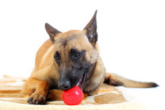 Belgian shepherd dog Royalty Free Stock Photo