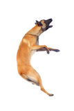 Belgian shepherd dog Stock Images