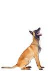 Belgian shepherd dog. Isolated on white background Stock Images