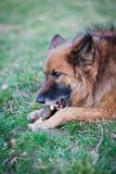 Belgian Shepherd Dog Royalty Free Stock Photography