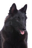 Belgian Shepherd Dog Royalty Free Stock Image