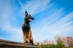 Belgian Shepherd Dog against the blue sky. Stock Images