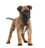 Belgian Shepherd Dog against white background. Belgian Shepherd Dog, 7 weeks old, standing in front of a white background Royalty Free Stock Images