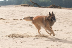 Belgian Shepherd Dog, with ball in sand Royalty Free Stock Photos