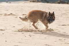 Belgian Shepherd Dog, with ball in sand Royalty Free Stock Image