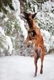 Belgian shepherd dog catching snow. Belgian shepherd dog winter fun Royalty Free Stock Photo