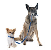 Belgian shepherd dog and chihuahua. In front of white background Royalty Free Stock Images