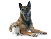 Belgian shepherd dog and chihuahua. In front of white background Royalty Free Stock Photo