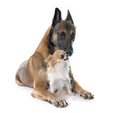 Belgian shepherd dog and chihuahua. In front of white background Stock Photo