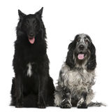 Belgian Shepherd dog and English Cocker Spaniel Stock Images