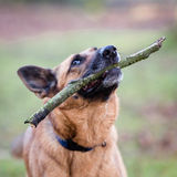 Belgian Shepherd Dog. In a Forest during Autumn Royalty Free Stock Photos