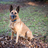 Belgian Shepherd Dog. In a Forest during Autumn Stock Photos