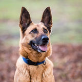 Belgian Shepherd Dog Stock Photography