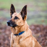 Belgian Shepherd Dog. In a Forest during Autumn Stock Photography