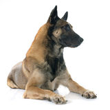 Belgian shepherd dog. In front of white background Stock Photo