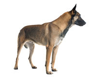 Belgian shepherd dog. In front of white background Royalty Free Stock Photo