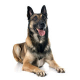 Belgian shepherd dog. In front of white background royalty free stock image