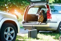 The belgian shepherd dog is lying into the car. The dog is guarding the suitcase Stock Photo