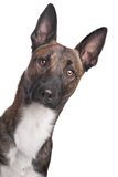Belgian Shepherd Dog Malinois Stock Photos