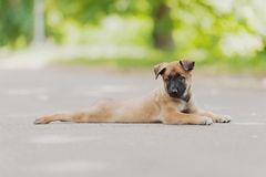 Belgian Shepherd Dog ( Malinois ). Beautiful brown Belgian Shepherd ( Malinois Royalty Free Stock Image