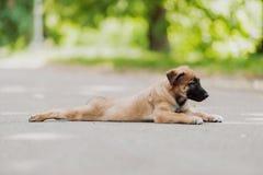 Belgian Shepherd Dog ( Malinois ). Beautiful brown Belgian Shepherd ( Malinois Royalty Free Stock Photography