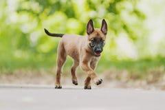 Belgian Shepherd Dog ( Malinois ). Beautiful brown Belgian Shepherd ( Malinois Stock Image
