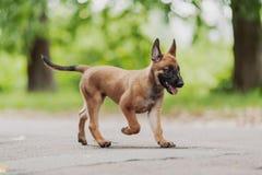 Belgian Shepherd Dog ( Malinois ). Beautiful brown Belgian Shepherd ( Malinois Royalty Free Stock Images