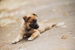 Belgian Shepherd Dog ( Malinois ). Beautiful brown Belgian Shepherd ( Malinois Stock Photography