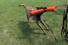 Belgian shepherd dog malinois with boudin Royalty Free Stock Photo