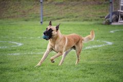 The Belgian Shepherd dog Malinois exercises the contribution of object for his master during a contest. Belgian Shepherd dog Malinois exercises the contribution Stock Image