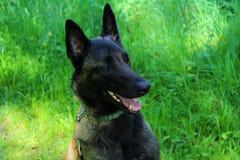 Belgian shepherd dog malinois face Royalty Free Stock Photo
