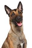 Belgian Shepherd dog Malinois. Happy Belgian Shepherd dog  on a white background Royalty Free Stock Photo