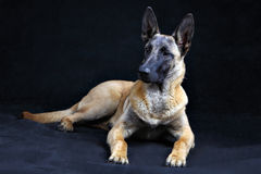 Belgian Shepherd Dog Malinois isolated on grey background, studi Royalty Free Stock Images