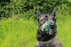 Belgian shepherd dog malinois with muzzle camouflage Royalty Free Stock Photos