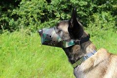 Belgian shepherd dog malinois with muzzle Royalty Free Stock Photography