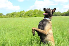 Belgian shepherd dog malinois Stock Photography