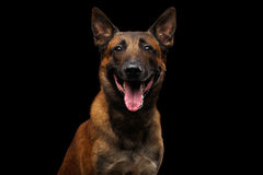 Belgian Shepherd Dog malinois. Portrait of Happy Belgian Shepherd Dog Malinois on Isolated Black Background, front view stock images
