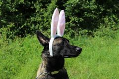 Belgian Shepherd Dog Malinois with rabbit ears. Belgian Shepherd Dog Malinois wearing rabbit ears Stock Photo