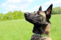 Belgian shepherd dog malinois Royalty Free Stock Photo